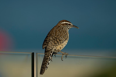 Cactus wren pool-side patio wind screen
