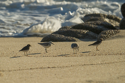 Group of Sanderlings and semipalmated plover near waters edge