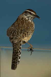 Cactus wren  looking at the beach on a wind-screen