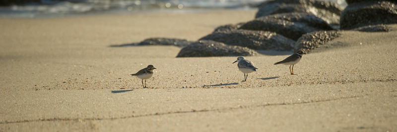 2 semipalmated plovers and a sanderling walk near wave-splashed rocks