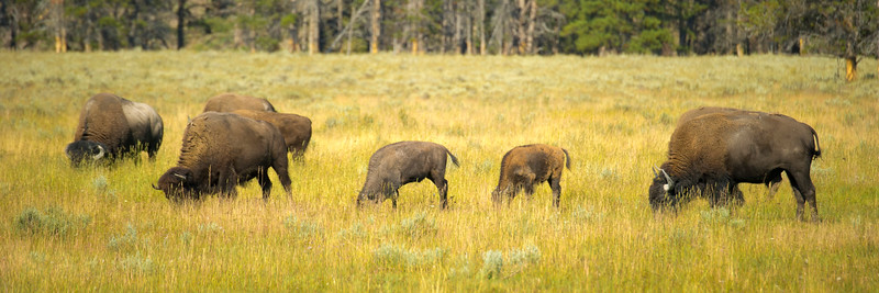Baby Bison along the Grand Loop Road