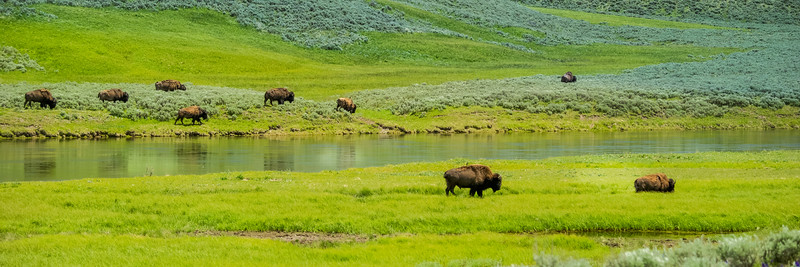 Buffalo move along the Yellowstone River