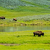 Buffalo move along the Yellowstone River