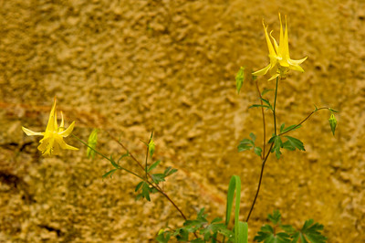 Columbine growing in the canyon  wall along the walk