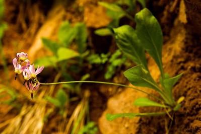 More Jeffery shooting stars growing in a small crack.