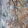 Graceful Black Oak Tree against Yosemite National Park's granite wall