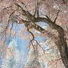 Graceful Black Oak Tree in front of Yosemite National Park's granite wall