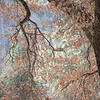 Elegant Black Oak Tree against Yosemite National Park's granite wall