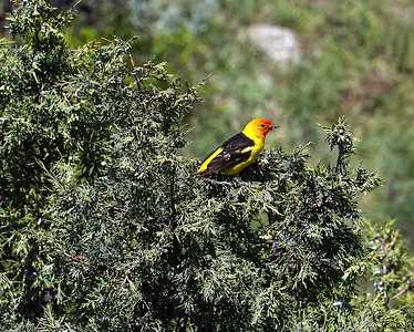 Western Tanager in Red Rocks Canyon
