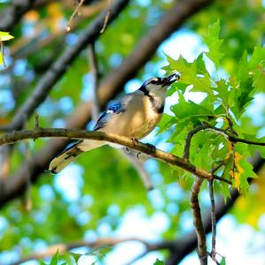 Blue Jay eats