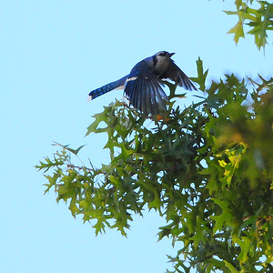 A Blue Jay on the hunt