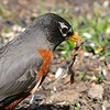 Robin enjoys a worm