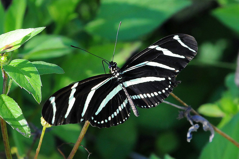 Zebra Winged Butterfly.  Florida's State Butterfly
