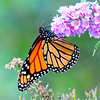 Monarch Butterfly on Phlox