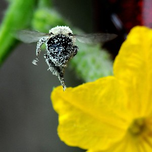 Bumblebee on Cucumber Flower