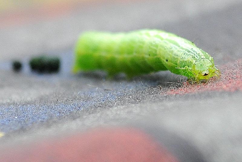 Cabbage Looper drops a huge deuce
