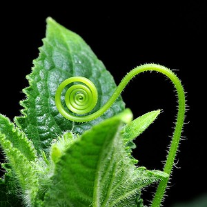 Cucumber Tendril