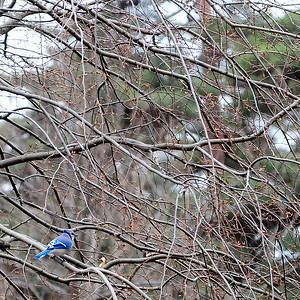 A dash of Blue Jay color