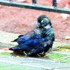Common Grackle Puddle Bath