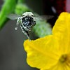 Bumblebee on Cucumber Flower