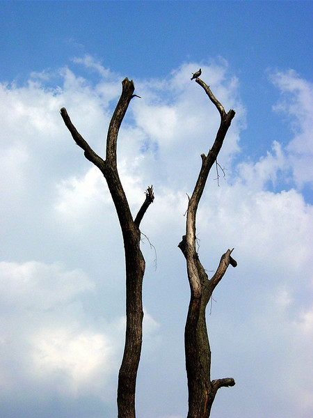 dead tree with pigeon
