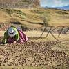 Peruvian woman drying her potatoes