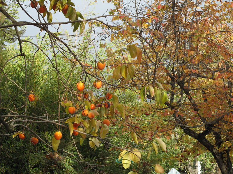 [usually I'm trying to get as flat an effect as possible; here the persimmons appear somewhat in 3D, which appears okay for this photo]