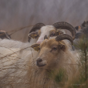 schapenwandeling_JC16642c_JD_KWA0117WI