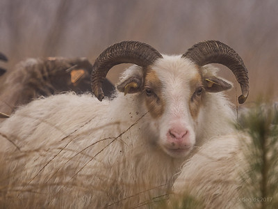 schapenwandeling_JC16635d_JD_KWA0117WI