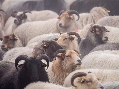 schapenwandeling_JC16645c_JD_KWA0117WI-3
