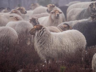schapenwandeling_JC16647c_JD_KWA0117WI