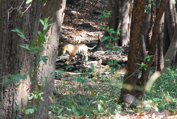 Bengal Tiger - Bandhavgarh NP , India