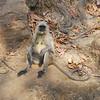 Hanuman Langur - India