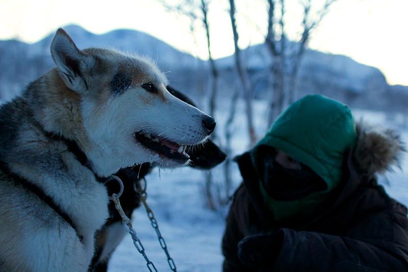 Abisko Dog Sledding 45