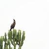 Long Crested Eagle, Queen Elizabeth National Park
