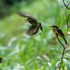 Birds around Ndali Lodge, Uganda