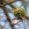 Weaver bird in Ndali Lodge's garden