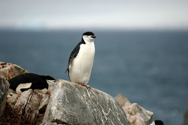Chinstrap Penguin contemplating flying