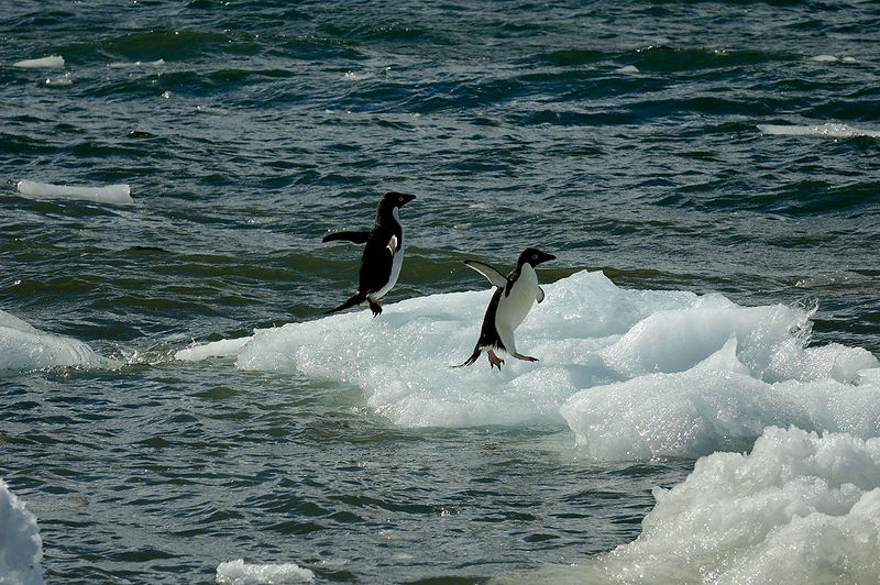 Adelie Penguins jumping out of the water.