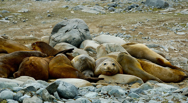Southern Elephant seals 'wallowing'. They also burp, fart and stink if you are downwind!