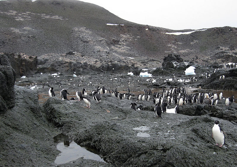 Those are Adelie Penguins nesting all the way to the top of the hill - and over it!