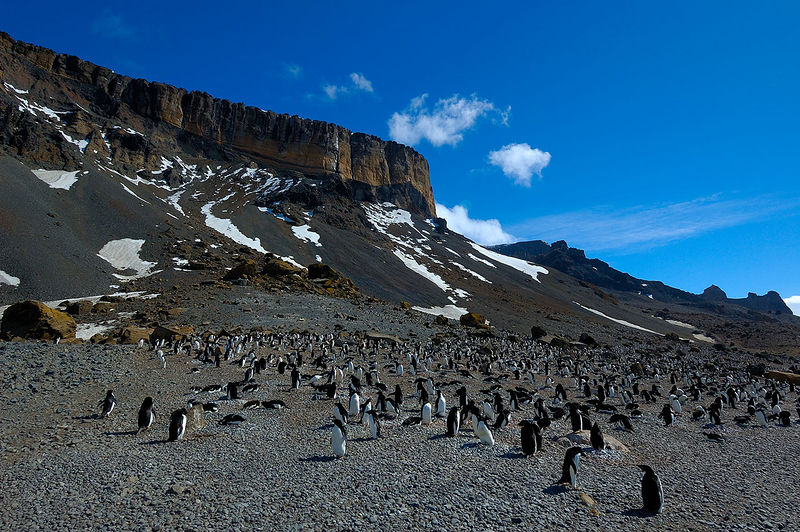 Brown Bluff and Adelie Penguins. The colony stretched all the way into the distance on the right
