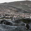 Adelie Penguin colony on Gourdin Island stretching all the way up the hill and over it!