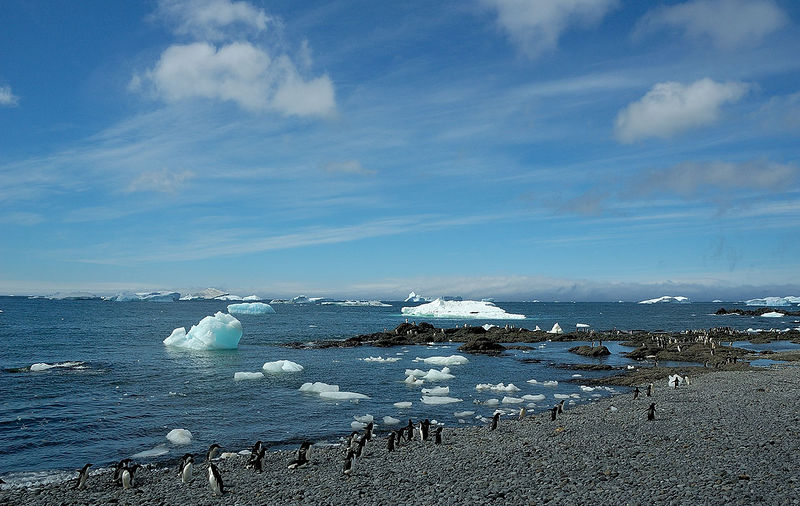 Adelie Penguins. They seemed to spend a lot of time wandering up and down the beach thinking about a swim.