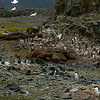Penguins and a wallow of Elephant seals