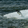 Adelie Penguin Diving in.