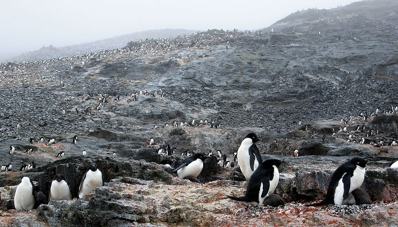 More Adelie Penguins on Gourdin Island - only 99,994 portraits left to take.