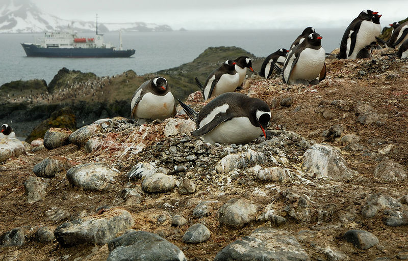 Gentoo Penguins; fascinated by humans arriving in boats they typically gaze at the rocks covered in penguin poo.