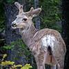 A young buck deer