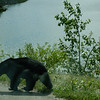 Black Bear on the road
